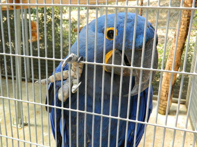 parrots-hyacinth